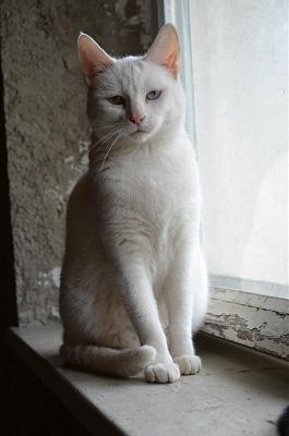 Hildegarde - chatte blanche aux yeux verrons -  Asso A.S.C.A-hildegarde.jpg
