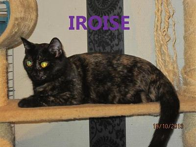 Iroise Belle Ecaille de Tortue handicapé ( adoption possible 80.59.60.02 et RP )-iiirrroiisse.jpg
