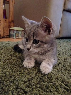 ISLINGTON, joli chaton tigré gris, adorable et caressant (69)-photo-2.jpg