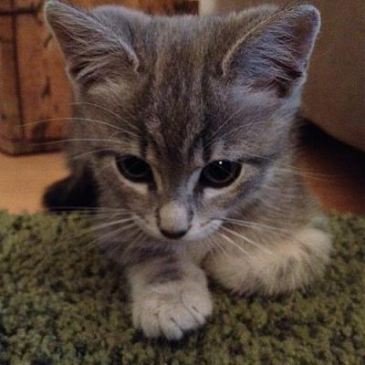 ISLINGTON, joli chaton tigré gris, adorable et caressant (69)-photo-4.jpg