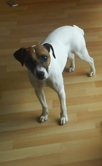 Nom : PIPO Jack russel.jpg