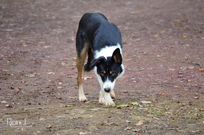 JO, border collie (mâle, sourd, 12/2014)-dsc_0410.jpg