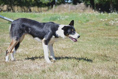 JO, border collie (mâle, sourd, 12/2014)-dsc_1530.jpg