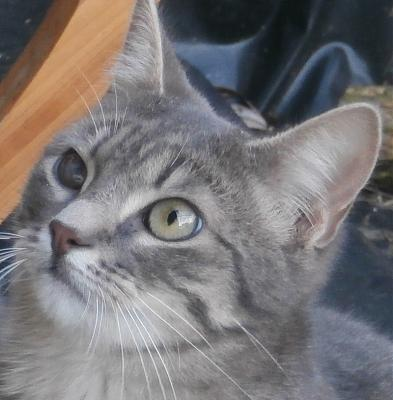 JULES chaton type silver tabby 8 mois, à adopter, dpt 86-jules.jpg