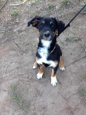 LOUKY chiot croise beauceron a adopter3 mois 1/2-10425140_10205003651724461_6751895103040679488_n.jpg