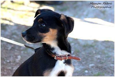LOUKY chiot croise beauceron a adopter3 mois 1/2-10959013_332958446896068_1779112384628221867_n.jpg