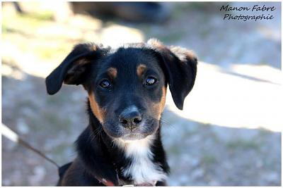 LOUKY chiot croise beauceron a adopter3 mois 1/2-11014987_332958420229404_5258114898048702026_n.jpg