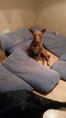 Luck adorable podenco 3 ans sauvé de la rue attend en pension (Grenade, Espagne)-luck-junio-2016-perro-adopcion-3-.jpg