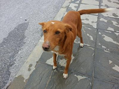 Luck adorable podenco 3 ans sauvé de la rue attend en pension (Grenade, Espagne)-luck-perro-poddenco-adopcion.jpg