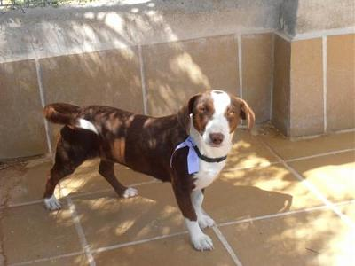 Maya adorable petite chienne attend sa famille au refuge (Grenade, Espagne)-a_5121370286092.jpg