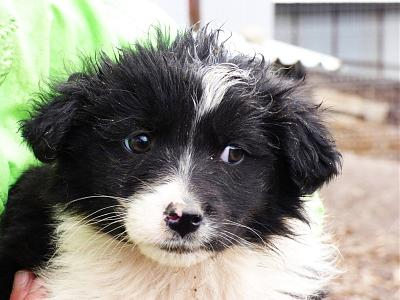 Melly chiot border collie-melly.jpg