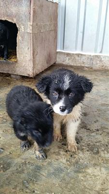 Melly chiot border collie-melly10.jpg