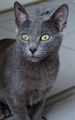 Minnie, jeune chatte type chartreux-58902350_393100254612541_2086604217451020288_n.jpg