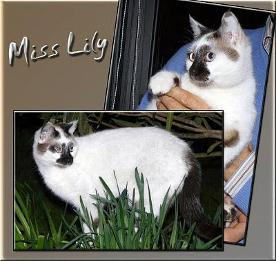 MISS LILY, femelle type siamoise snowshoe, 1 an, FELIN POSSIBLE (35)-423553_10150605543591492_44926746491_9078571_1888695128_n.jpg