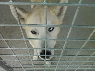 MOULOUK husky 11/2010/ASSO GALIA REF:85 ADOPTE Attachment