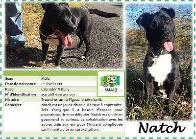 Natch, chien mâle lab x bully né en avril 2017, à l'adoption dans le 46 (MASAQ)-natch.jpg