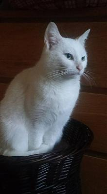 Neige - chatte blanche - Association Chat d'Or (92)-13331118_1044454415622247_527260728937340776_n.jpg