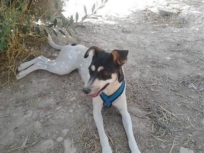 Nube adorable petite louloute 8 mois attend au refuge (Grenade, Espagne)-a_5991380580226.jpg