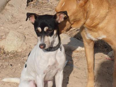 Nube adorable petite louloute 8 mois attend au refuge (Grenade, Espagne)-a_5991385386000.jpg