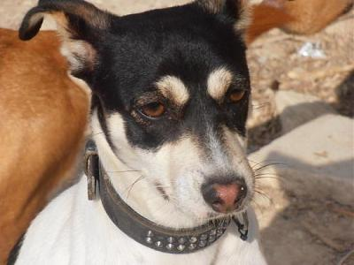 Nube adorable petite louloute 8 mois attend au refuge (Grenade, Espagne)-a_5991385386002.jpg