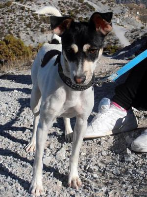 Nube adorable petite louloute 8 mois attend au refuge (Grenade, Espagne)-a_5991385387730.jpg