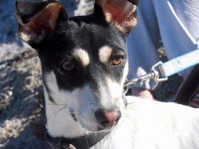 Nube adorable petite louloute 8 mois attend au refuge (Grenade, Espagne)-a_5991385387731.jpg