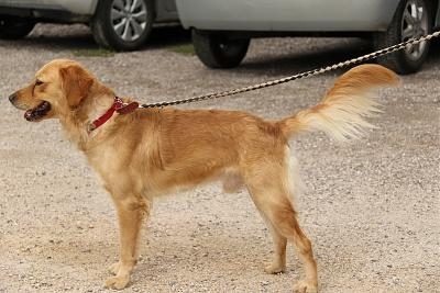 Nutts Golden retriever de 2 ans (54)-3l6a7911.jpg