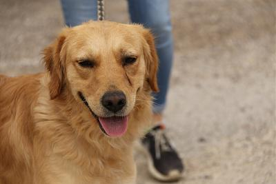 Nutts Golden retriever de 2 ans (54)-3l6a7915.jpg