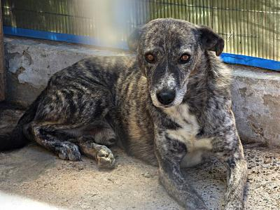 PIXEL MALE CROISE TAILLE MOYENNE(ROUMANIE) ADOPTE-pixel310.jpg