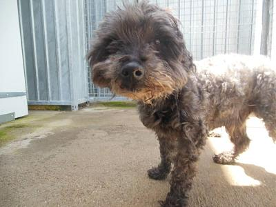 Quinquin adorable caniche 10 ans trouvé attend au refuge (71)-13077034_10208312118593265_8352426015609386247_n.jpg