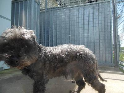 Quinquin adorable caniche 10 ans trouvé attend au refuge (71)-13226680_10208312118353259_7481481491881096855_n.jpg