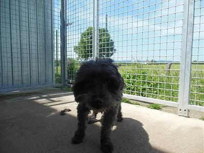 Quinquin adorable caniche 10 ans trouvé attend au refuge (71)-13237688_10208312116113203_7640170259340241063_n.jpg
