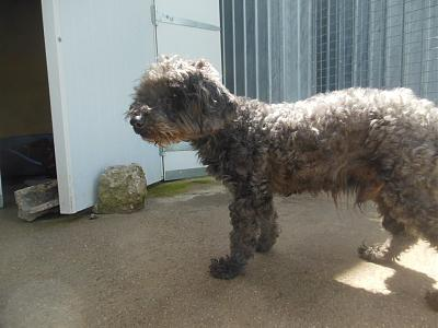 Quinquin adorable caniche 10 ans trouvé attend au refuge (71)-13239397_10208312116033201_6718433383254069406_n.jpg