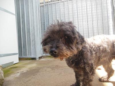 Quinquin adorable caniche 10 ans trouvé attend au refuge (71)-13267897_10208312118553264_580103590772171296_n.jpg