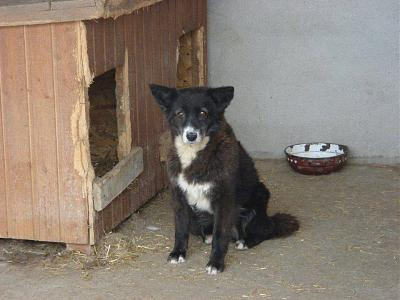 SCREAMY - CHIENNE CROISEE BORDER DE 8 ANS - SOS - REFUGE ALINA-14724400_1832639213640181_5773937481407479976_n.jpg