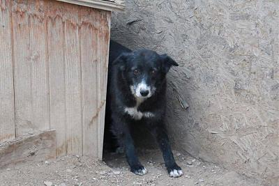 SCREAMY - CHIENNE CROISEE BORDER DE 8 ANS - SOS - REFUGE ALINA-14724416_1832639170306852_6370248755105043207_n.jpg