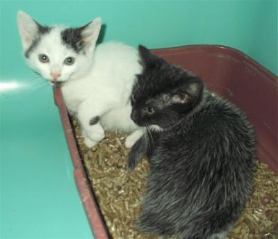 SEM 25 : SOS FOURRIERES RP 35 chats chatons  // AVT LE  21 06 .14-22451.22452.jpg