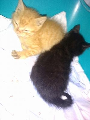 SOS FOURRIERE PICARDIE AVT LE 05 /10/2016-chatons-n-6-1-mois-beauvais-28.09.16.jpg