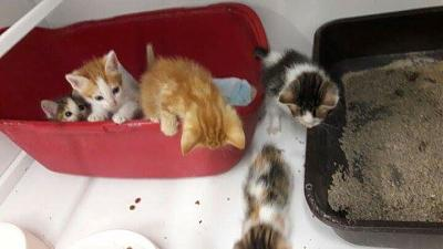 SOS FOURRIERE PICARDIE AVT LE 10 /08/2016 POUR DES CHATONS-chatons2.03.08.16.jpg