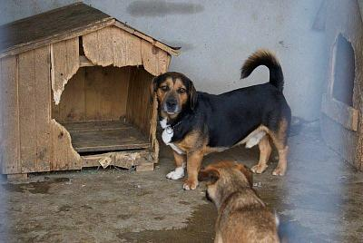 !!! SOS !!! RAOUL - MALE PETITE TAILLE/COURT SUR PATTES - 4 ANS - REFUGE ALINA-14141909_1809904399246996_2595952487178777690_n.jpg