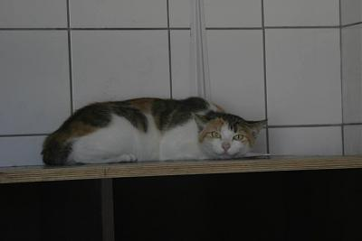 SOS URGENCE Besoin d ASSO+FAQ+FALD / 24 CHATS DONT 8 ABANDONNES FOURRIERE  (79)-trico-abad.jpg