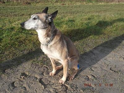 Spike - Berger Belge Malinois - 11 ans en fourrière-photo-036.jpg