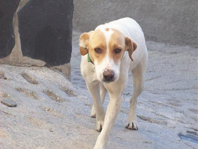 Sweet adorable femelle type mastin 2 ans attend sa famille (Almunecar, Espagne)-101_0105.jpg