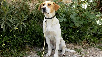 Sweet adorable femelle type mastin 2 ans attend sa famille (Almunecar, Espagne)-150146_605772912786084_1872106615_n.jpg