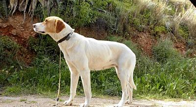 Sweet adorable femelle type mastin 2 ans attend sa famille (Almunecar, Espagne)-522427_605772349452807_1498752421_n.jpg