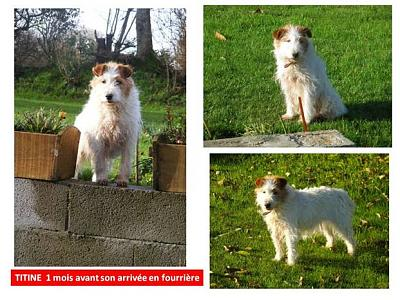 TARTINE - type fox terrier blanche taches marron de 9 ans-image010.jpg