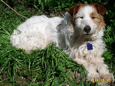 TARTINE - type fox terrier blanche taches marron de 9 ans-ssa56022.jpg