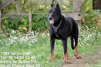 Timy, chien type beauceron (44)-timybeauceron12ans-21.jpg