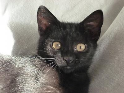 TI'PIE- chaton femelle noire- FELIN POSSIBLE- à adopter.-tipie.jpg