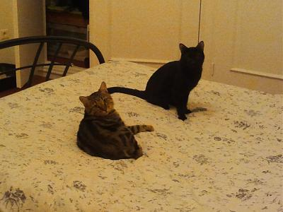 TRES URGENT besoin d'une FA pour 2 chats (34)-omaley-and-berlioz-o-dodo.jpg
